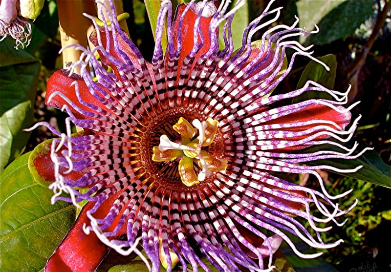 passiflora-foto-video-vidy-opisanie-razmnozhenie-posadka-uhod-3
