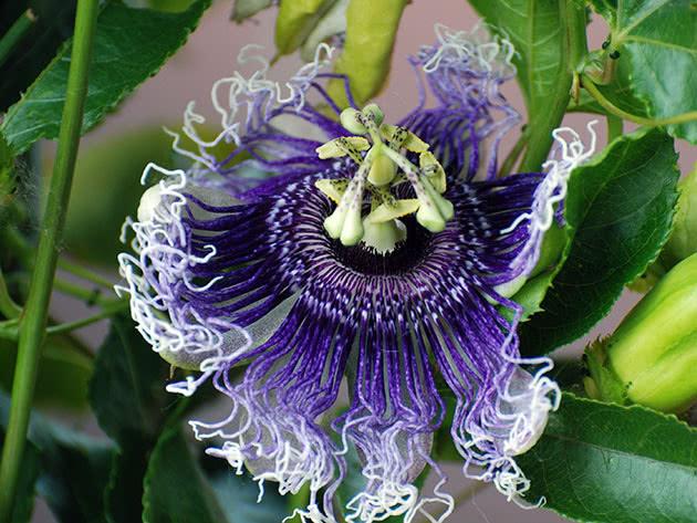 passiflora-foto-video-vidy-opisanie-razmnozhenie-posadka-uhod-24