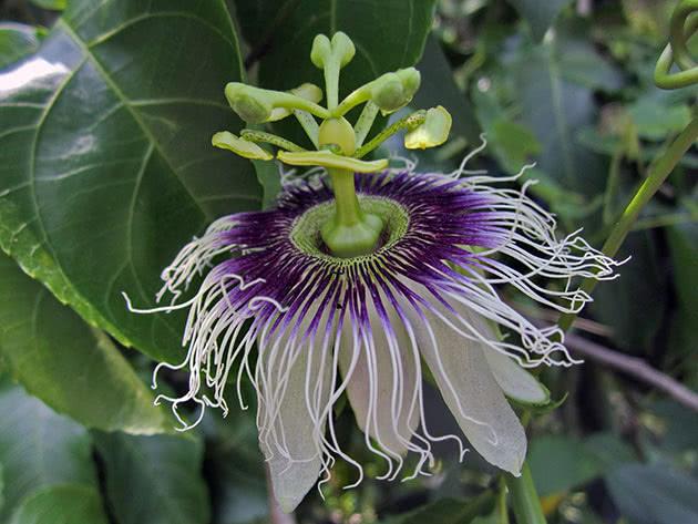 passiflora-foto-video-vidy-opisanie-razmnozhenie-posadka-uhod-20