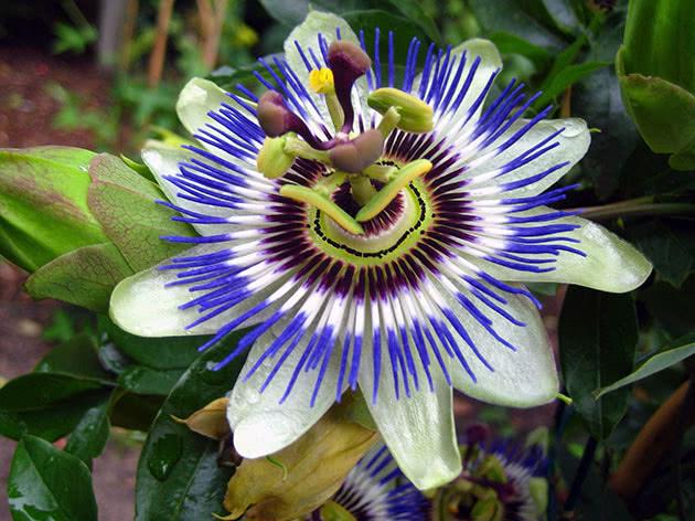 passiflora-foto-video-vidy-opisanie-razmnozhenie-posadka-uhod-21