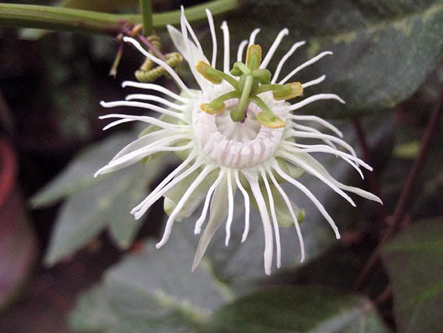 passiflora-foto-video-vidy-opisanie-razmnozhenie-posadka-uhod-13