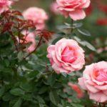 Миниатюрные розы: размножение и уход