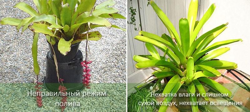 ehmeya-aechmea-foto-vidio-vidy-opisanie-uhod-v-domashnih-usloviyah-42