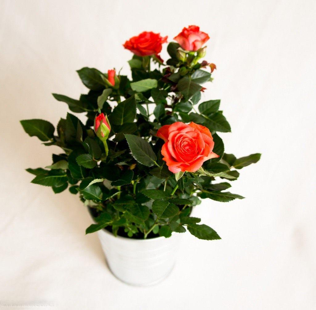 Роза Кордана.