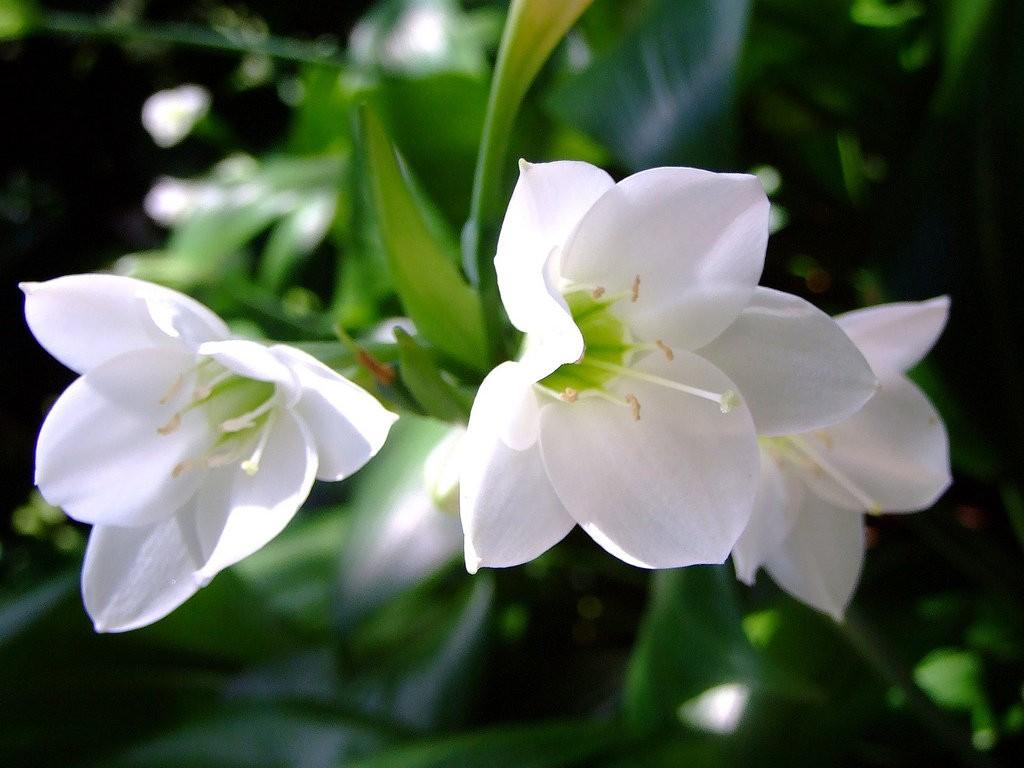 Крупноцветковый (Амазонский) эухарис.