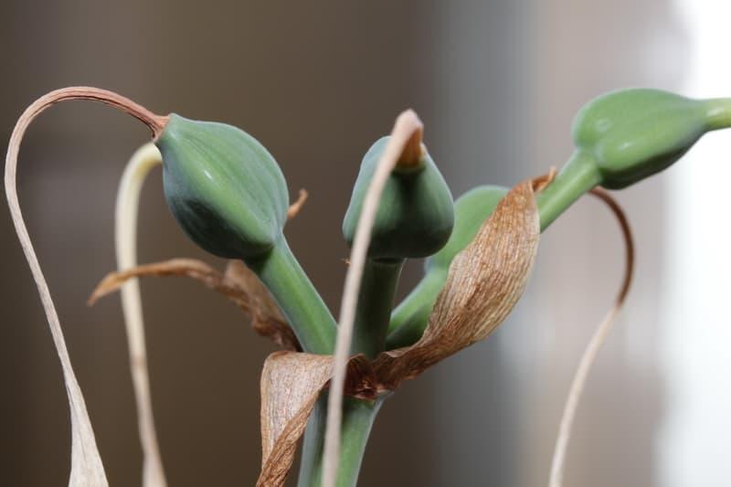 euharis-foto-video-vidy-i-sorta-amazonskoj-lilii-razmnozhenie-i-uhod-15