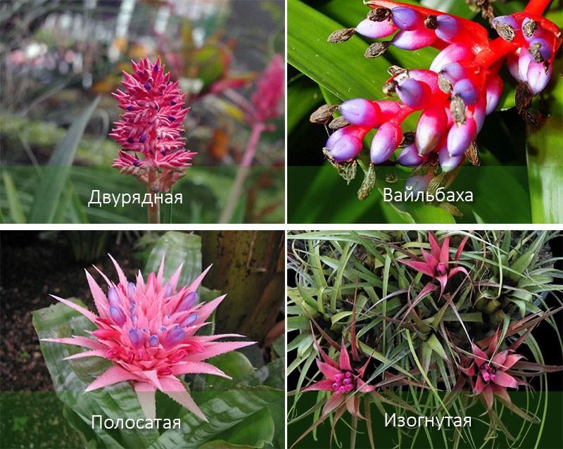 ehmeya-aechmea-foto-vidio-vidy-opisanie-uhod-v-domashnih-usloviyah-30