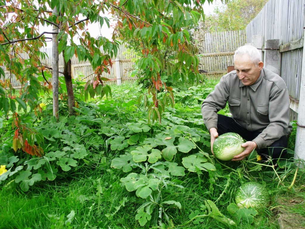 Фицефалия или тыква фиголистная (Cucurbita ficifolia or Chilacayote).