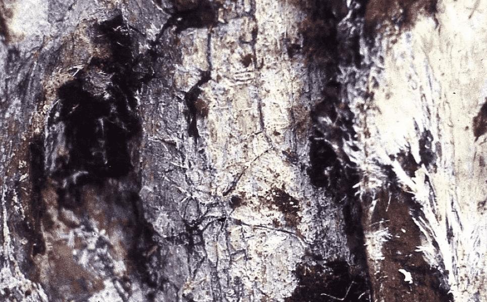 Пленки грибницы и ризоморфы опенка под корой.