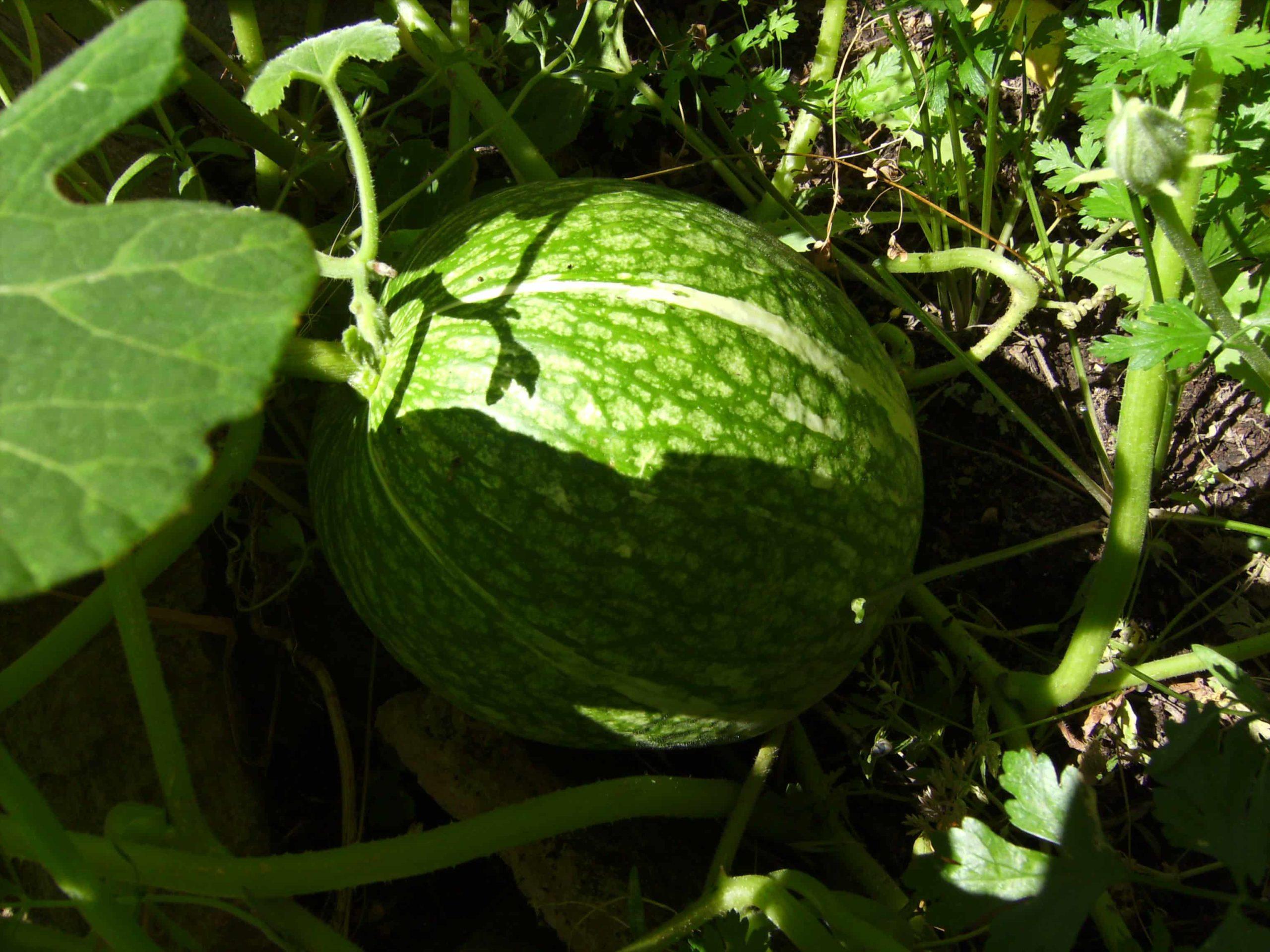 Ты́ква фиголи́стная (лат. Cucurbita ficifolia).