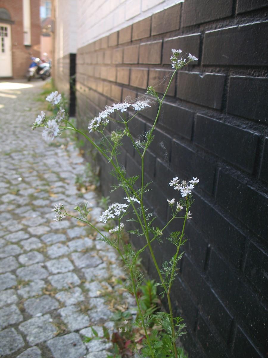 Кориандр, или кинза (Coriandrum sativum).