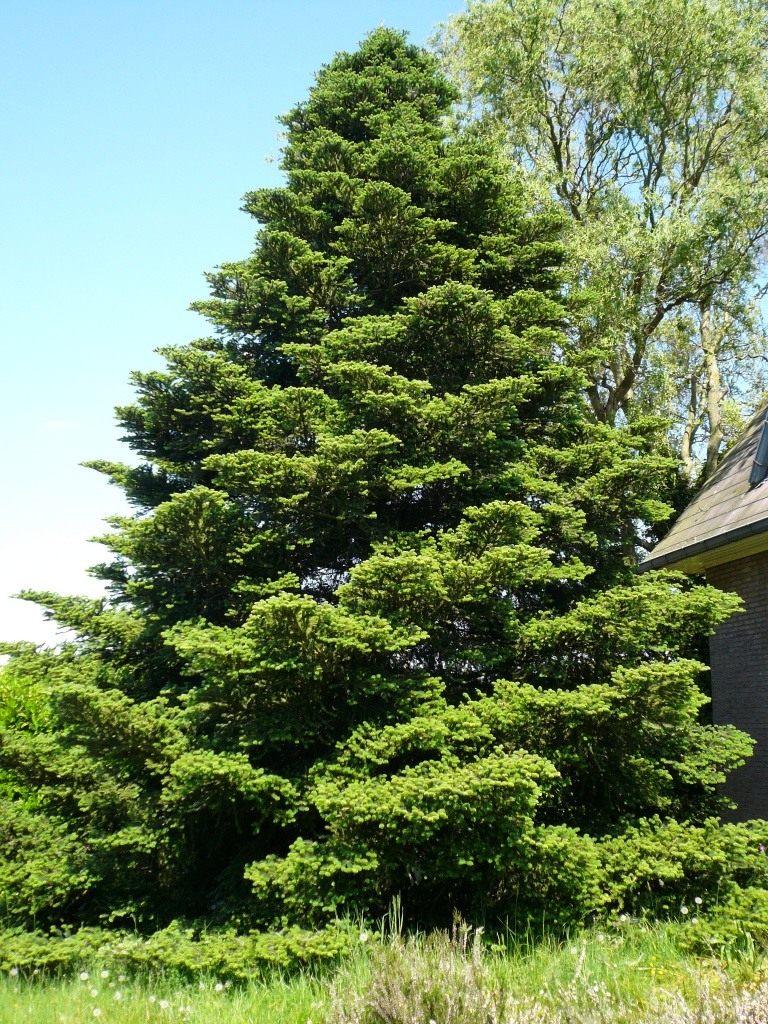 Пихта – королева среди хвойных растений.