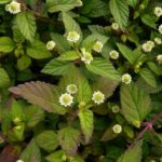 Липпия: лечебные свойства, посадка и уход