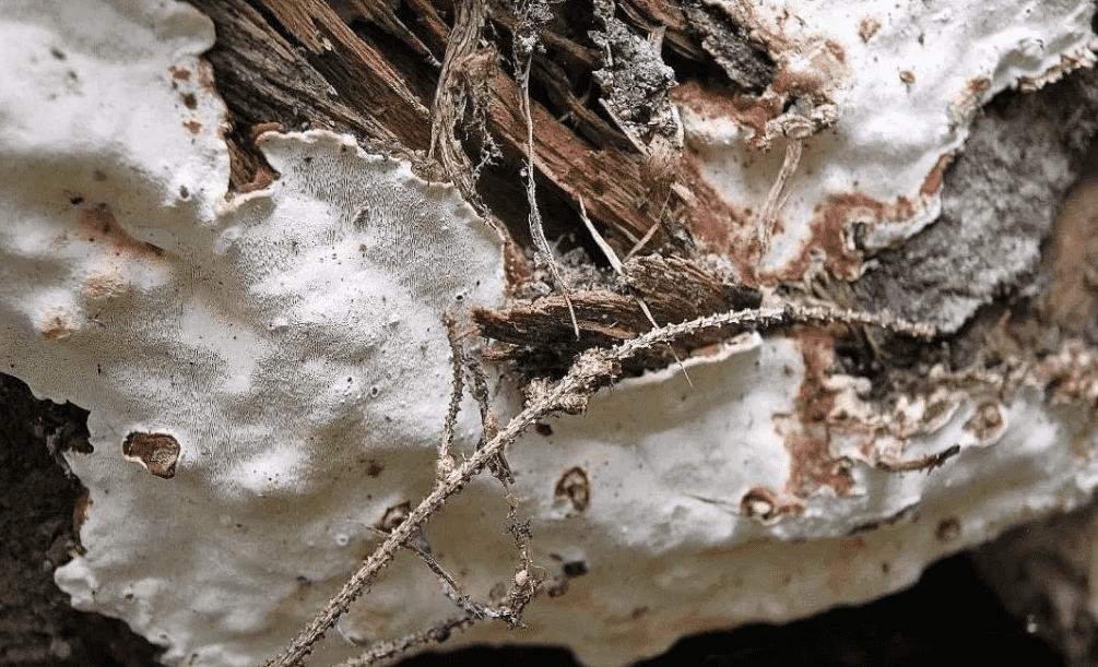 Плодовые тела корневой губки.