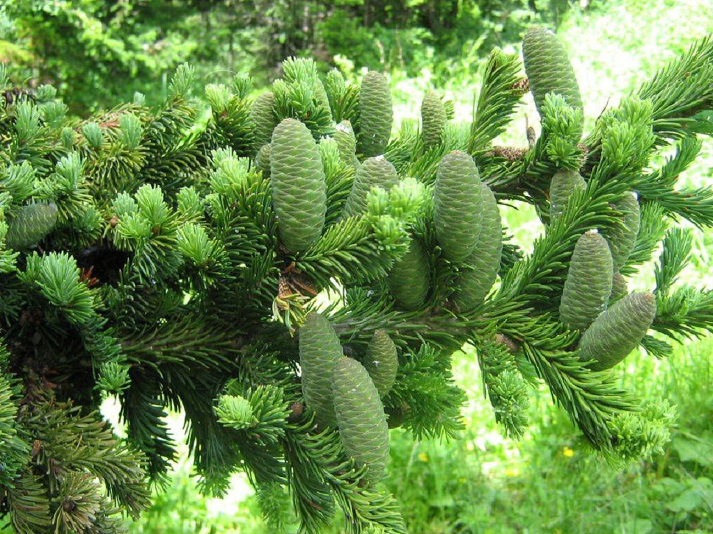 Шишки Abies balsamea имеют стандартную овальную форму.