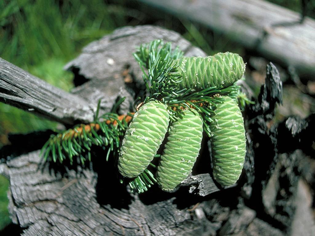 Пихта великая (Abies grandis).