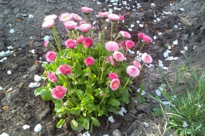 Маргаритка в саду.