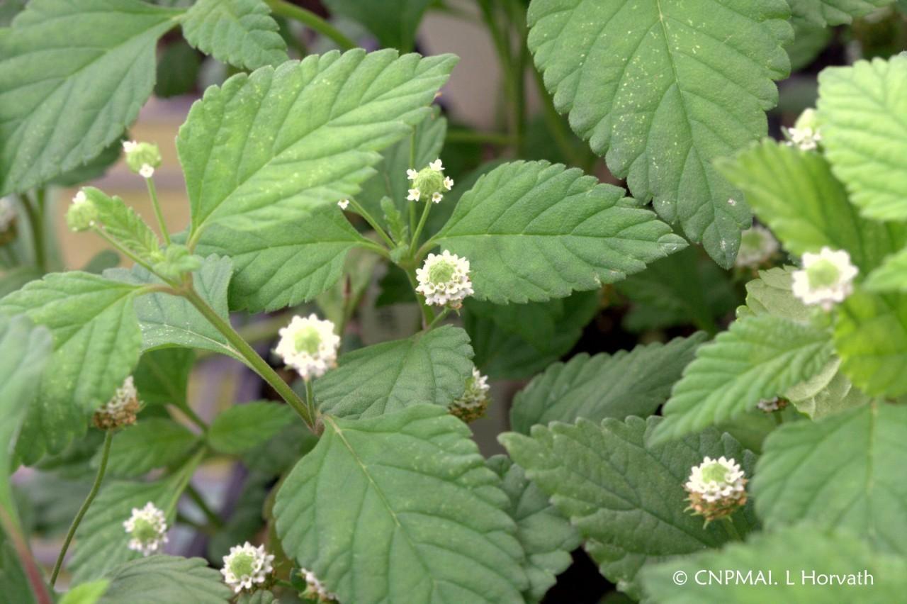 lippiya-sladkaya-trava-foto-video-lechebnye-svojstva-razmnozhenie-i-uhod-5