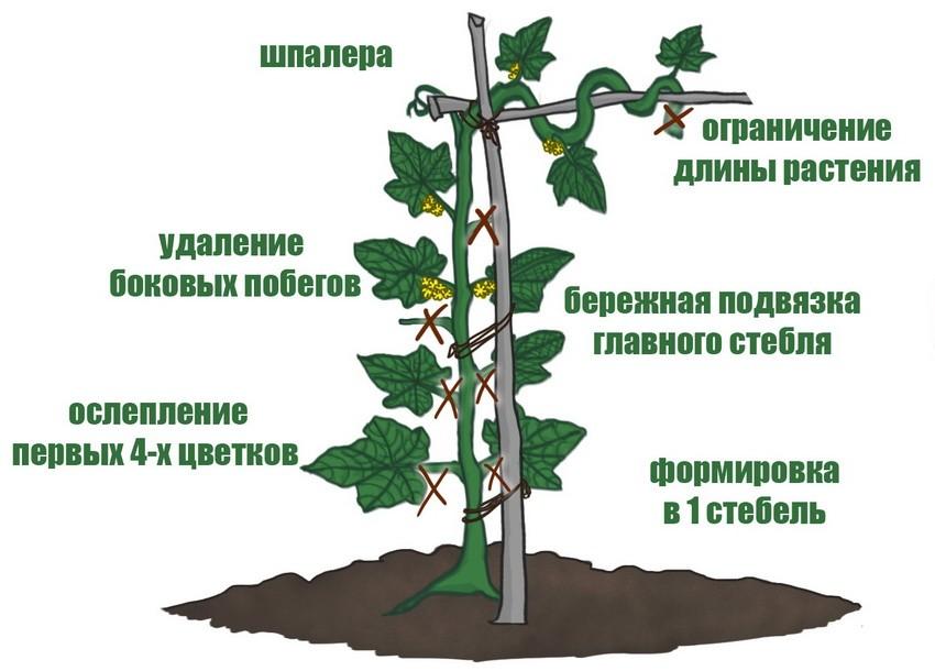 kak-podvyazyvat-ogurtsy-foto-video-shpalery-dlya-ogurtsov-svoimi-rukami-11