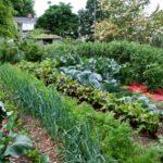 Правильное соседство овощей на грядках.