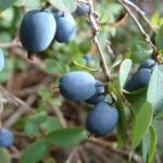 Голубика: размножение, посадка и уход