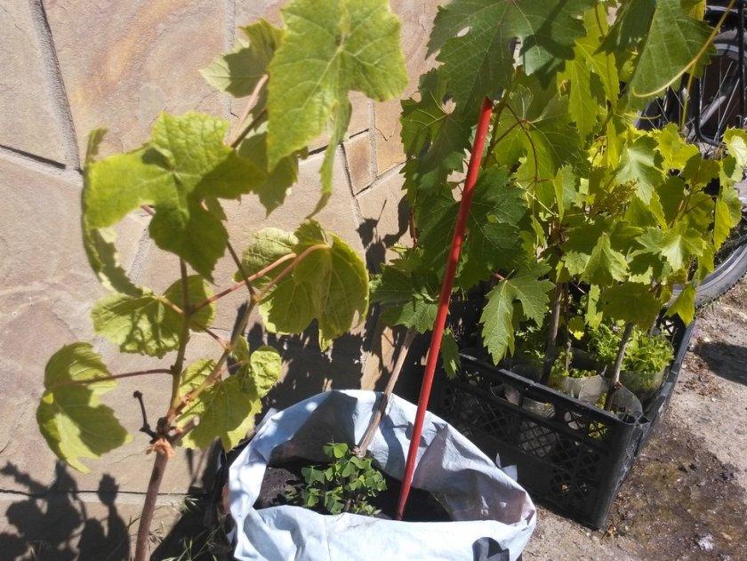 Качество будущего виноградника и его жизнедеятельность в большей степени будут определяться качеством посадочного материала.