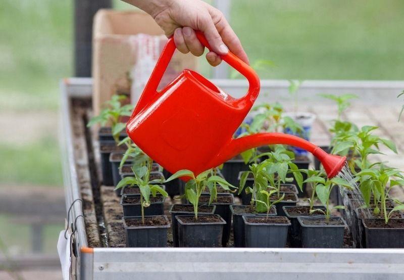 Не стоит поливать, если почва еще достаточно влажна.