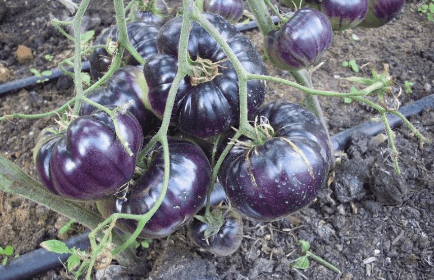 tomat-sinij-foto-video-opisanie-i-harakteristika-sorta-sinih-pomidorov-1