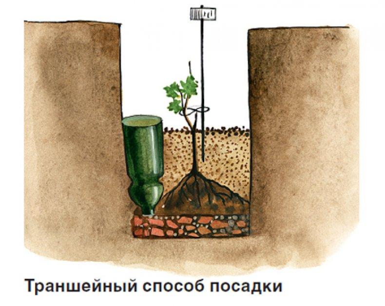 Траншейный способ посадки винограда.