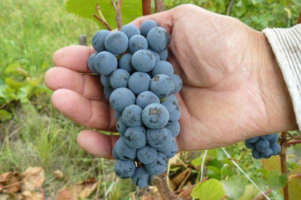 Грозди амурского винограда.