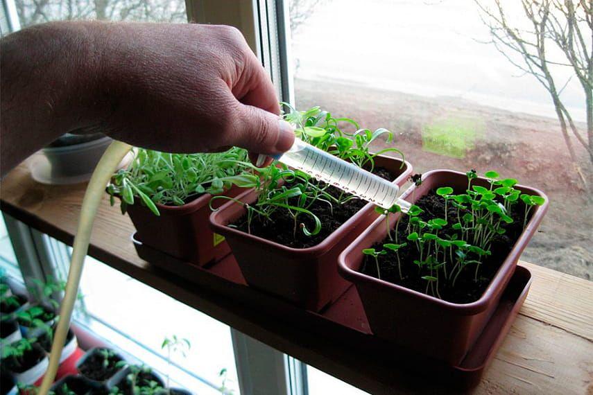 Чтобы ростки не ложились на землю, первое время поливайте из шприца, пипетки или с помощью спринцовки.