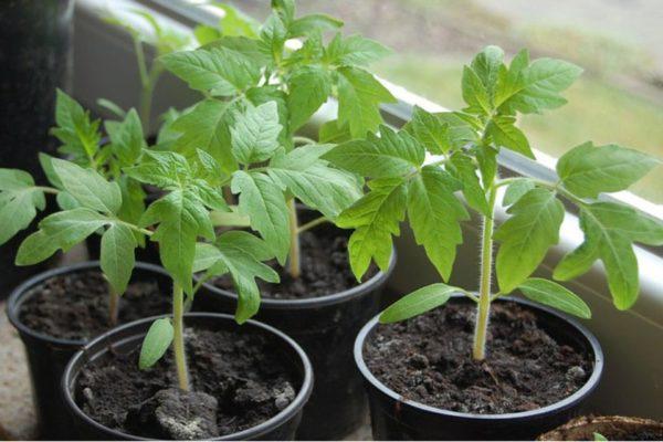 Перед обрезкой нужно вырастить рассаду томатов высотой до 20 см.