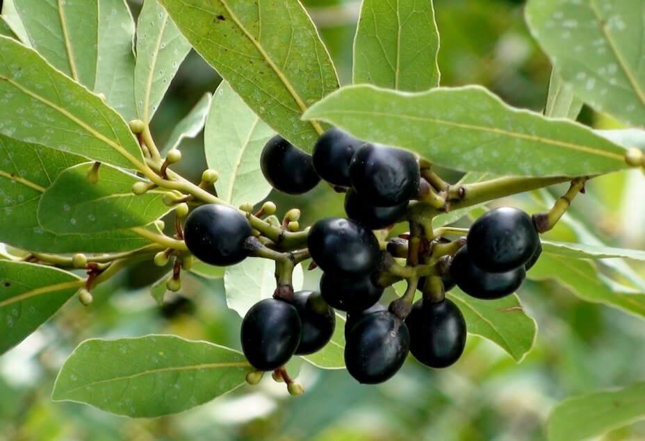 Плоды лаврового дерева.
