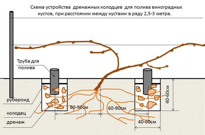 vinograd-amurskij-foto-video-sorta-i-gibridy-opyt-vyrashhivaniya-16