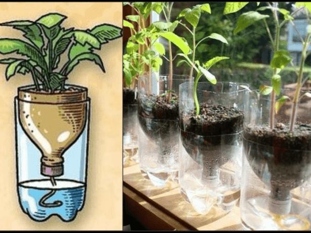 Для выращивания рассады на фитильном поливе удобно использовать разрезанные пластиковые бутылки.