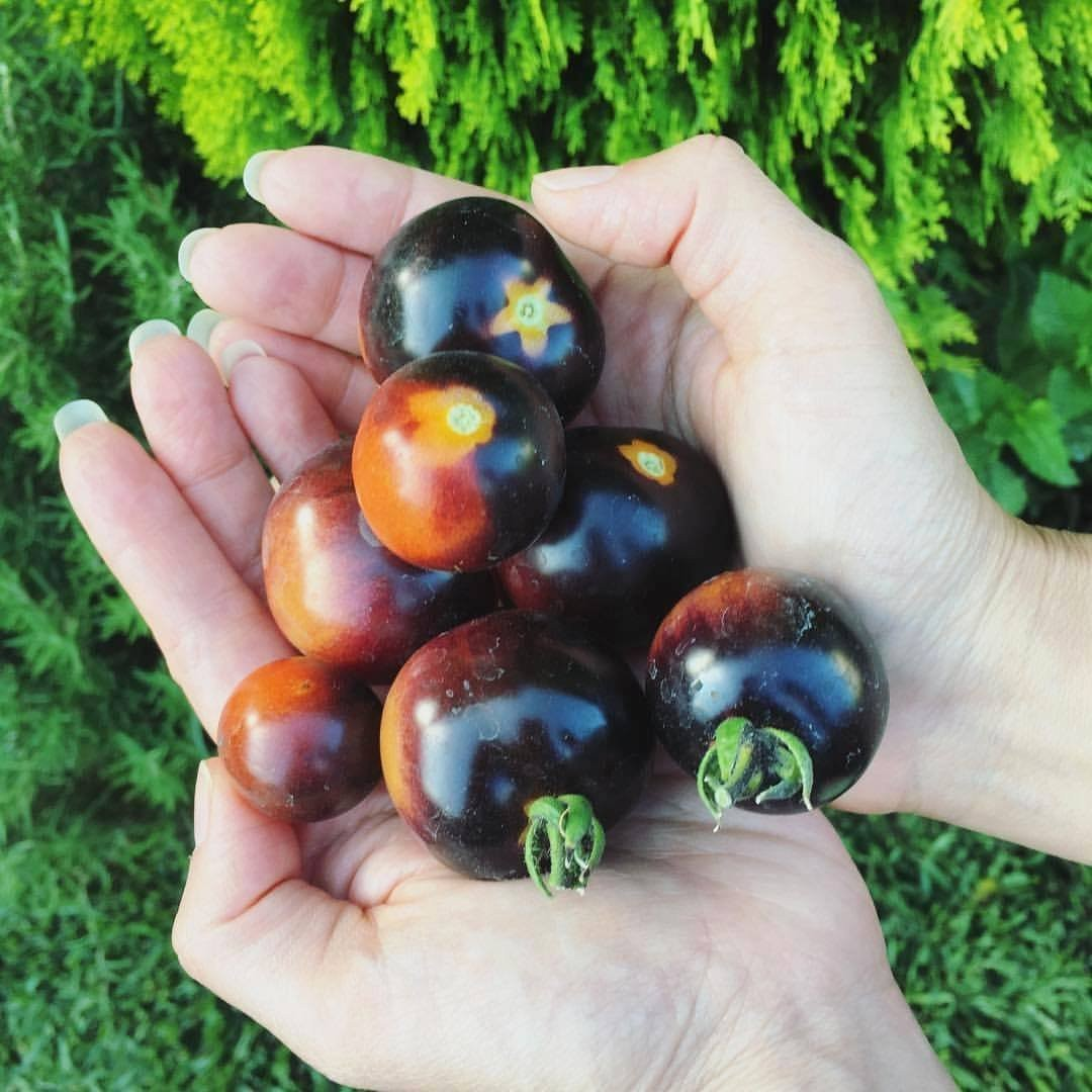 tomat-sinij-foto-video-opisanie-i-harakteristika-sorta-sinih-pomidorov-4