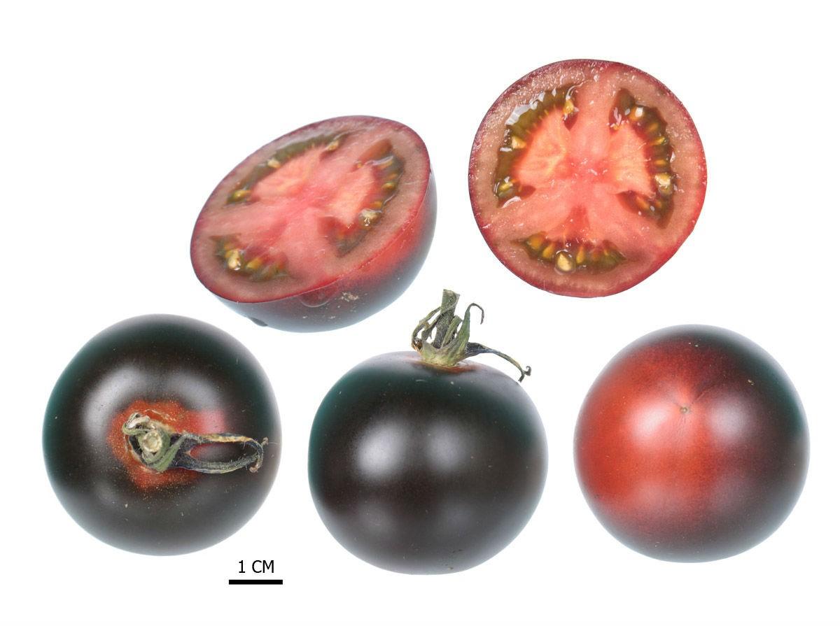 tomat-sinij-foto-video-opisanie-i-harakteristika-sorta-sinih-pomidorov-2
