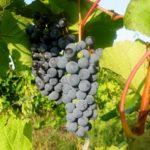 Виноград амурский: опыт выращивания