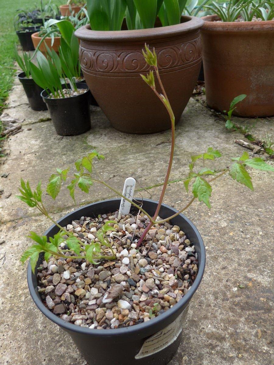 Растения хорошо развиваются как на солнечных участках, так и в полутени.