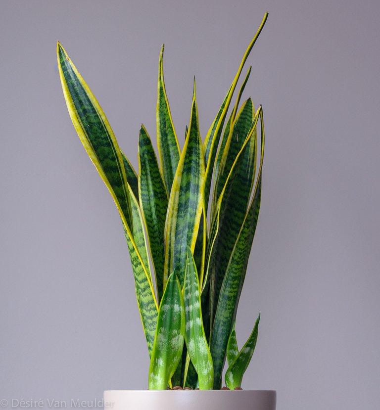 Сансевиерия трехполосая (Sansevieria trifasciata).