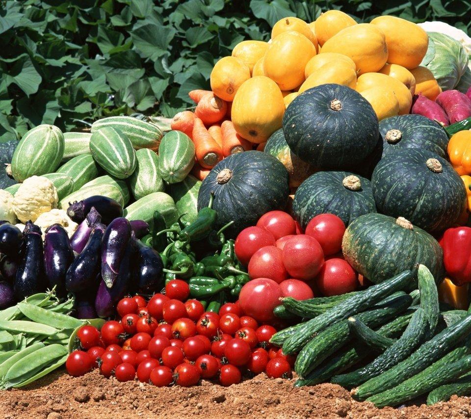 semena-gibrida-arbuza-syngenta-vegetativnye-i-selektivnye-svojstva-7