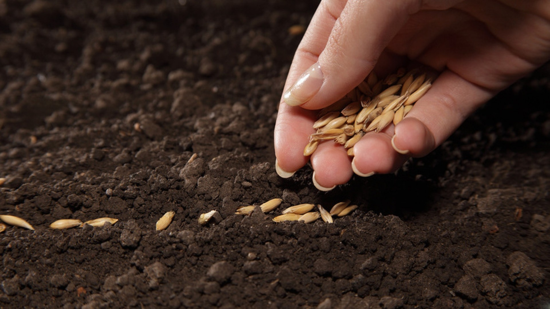 semena-gibrida-arbuza-syngenta-vegetativnye-i-selektivnye-svojstva-8