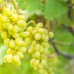 Подкормка винограда: когда, какие и сколько вносить удобрений