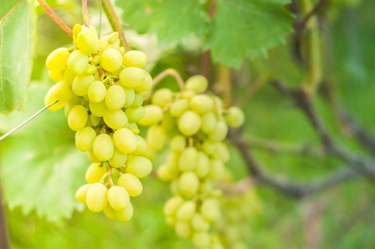 podkormka-vinograda-kogda-kakie-i-skolko-vnosit-udobrenij-pod-vinogradnyj-kust-1