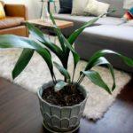 Аспидистра: описание растения, условия выращивания, посадка и уход