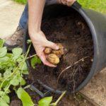 Картофель методы выращивания: в мешках, бочках, пакетах и ящиках