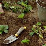 Как размножать клубнику усами: фото, видео, пошаговая инструкция