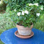 Гардения: фото, описание, выращивание и уход в домашних условиях