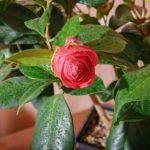 Камелия: фото, описание, выращивание и уход в домашних условиях