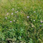 Короставник: особенности выращивания, использование в народной медицине